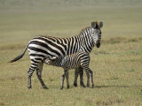 Grant's Zebra Nursing  Ngorongoro Crater  Tanzania
