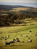 Sheep on Pastureland Near Cape Jervis  Fleurieu Peninsula  South Australia  Australia