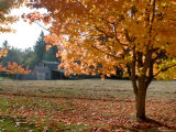 Maple Trees in Full Autumn Color and Barn in Background  Wax Orchard Road  Vashon Island  USA