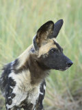 African Wild Dog (Lycaon Pictus)  Pilanesberg National Park  South Africa  Africa