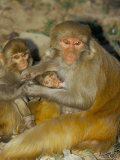 Family of Macaque Monkeys  Keoladeo Ghana National Park  Bharatpur  Rajasthan  India
