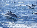 Group of Striped Dolphins Swimming  Strait of Gibraltar  Costa De La Luz  Spain