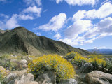 Brittlebush in Front of Mountains  Sonoran Desert  Anza-Borrego Desert State Park  USA