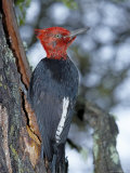 A Male Magellanic Woodpecker  Torres Del Paine National Park  Patagonia  Chile