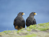 A Pair of Striated Caracara  Sea Lion Island  Falkland Islands  South Atlantic