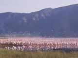Flamingos  Lake Bogoria  Kenya  East Africa  Africa