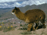 Alpaca  Cuzco  Peru  South America