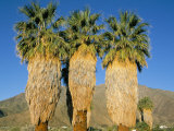 Three California Fun Palms  Sonoran Desert  Anza-Borrego Desert State Park  USA