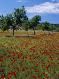 Poppies and Trees in Springtime  Sant Augusti  Ibiza  Balearic Islands  Spain  Mediterranean