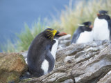 A Macaroni Penguin (Eudyptes Chrysolophus)  East Falkland  Falkland Islands  South Atlantic