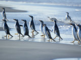 Gentoo Penguins Walking on the Beach  Sea Lion Island  Falkland Islands  South America