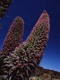 Tajiste Rojo in Bloom  Parque Nacional Del Teide  Tenerife  Canary Islands  Spain  Atlantic