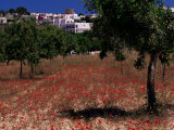 Poppies and Trees in Springtime  Village of Sant Augusti De Vedra  Ibiza  Balearic Islands  Spain