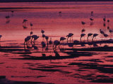 Flamingoes Feeding  Laguna Colorada at Sunset  Reserva Nacional Eduardo Avaroa  Los Lipez  Bolivia