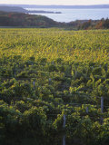 Vineyards Near Traverse City  Michigan  USA