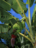 Bananas on Banana Plant  Barreirinhas  Lencois Maranhenses  Brazil  South America