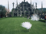 White Peacocks in Front of Folly  Isola Bella  Lake Maggiore  Piedmont  Italy