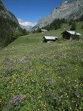 Early Summer Meadow Flowers  Above Kandersteg  Swiss Alps  Switzerland