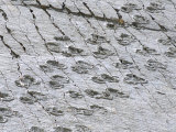 The World's Longest Dinosaur Tracks  Cretaceous Titanosaurus  Near Sucre  Bolivia  South America
