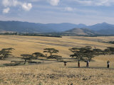 Acacia Trees on High Grasslands in Front of Bale Mountains  Southern Highlands  Ethiopia  Africa