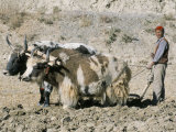 Yak-Drawn Plough in Barley Field High on Tibetan Plateau  Tibet  China