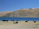 Yaks Graze by Yamdrok Lake Beside Old Lhasa-Shigatse Road, Tibet, China Papier Photo par Tony Waltham