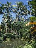 Coconut Palms and Fan Palms  Tropical Botanical Gardens  Hilo  Hawaiian Islands