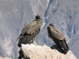 Two Condors at Cruz Del Condor  Colca Canyon  Peru  South America