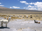 Domesticated Alpacas Grazing on Altiplano  Near Arequipa  Peru  South America