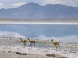Wild Vicunas on Borax Mineral Flats  with Mineral Flat Margin  Bolivia