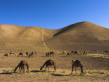 Camels  Between Herat and Maimana (After Bala Murghah)  Afghanistan