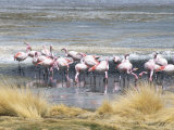 Flamingoes in Small Salt Lake Near Laguna Colorado  Southwest Highlands  Bolivia  South America