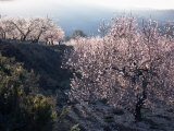 Almond Blossom in Spring  Costa Blanca  Valencia Region  Spain