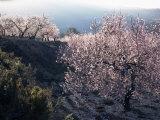 Almond Blossom in Spring  Costa Blanca  Valencia Region  Spain
