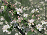 Apple Trees in Blossom  Normandy  France