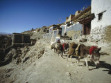 Donkey Caravan Leaving Sakya  Tibet  China
