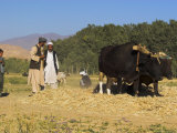 Threshing with Oxen  Bamiyan Province  Afghanistan