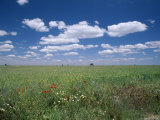 Fields of Wild Flowers  Near Utande  Guadalajara  Castilla La Mancha  Spain