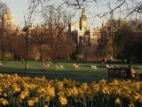 Daffodils in St James&#39;s Park  with Big Ben Behind  London  England  United Kingdom
