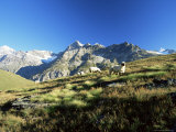 View to the Ober Gabelhorn  Sheep in Foreground  Zermatt  Valais  Switzerland