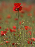 Poppies  Papaver Rhoeas  United Kingdom