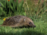 Hedgehog (Erinaceus Europaeus) in Suburban Garden  United Kingdom