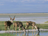 Greater Kudu (Tragelaphus Strepsiceros) Males at Seasonal Water on Etosha Pan  Namibia  Africa