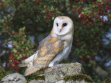 Barn Owl (Tyto Alba)  on Dry Stone Wall with Hawthorn Berries in Late Summer  Captive  England