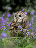 Captive Tawny Owl (Strix Aluco) in Bluebells  United Kingdom