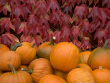 Autumnal Display of Pumpkins Against Virginia Creeper at Organic Farm Shop  Cumbria  UK