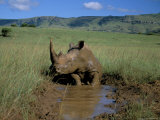 White Rhino (Rhinoceros Simum) Cooling Off  Itala Game Reserve  South Africa  Africa