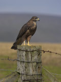 Bzzard (Buteo Buteo) on Fence Post  Captive  Cumbria  England  United Kingdom