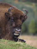 European Bison  Captive at Highland Wildlife Park  Kingussie  Scotland  United Kingdom