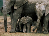 African Elephant (Loxodonta Africana) in Matriarchal Group  South Africa  Africa
